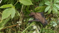 small brown bat is seen on the ground near some grass  69855734