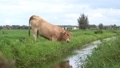 A grass meadow with brown cows in front of the windmills of Kinderdijk on a cloudy day 69924111