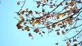 秋天的銀杏在風中飄揚 70022535