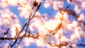 4K apricot flowers blooming in spring 70233843