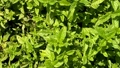 Mint or basil leaves at the garden as background 70360256