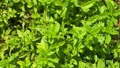 Mint or basil leaves at the garden as background 70360257