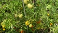 Green growing unripe tomatoes on a branch among the leaves 70360262