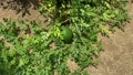 Unripe young watermelon plants in a vegetable garden 70360306