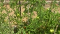 Green growing unripe tomatoes on a branch among the leaves 70360307