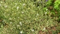Green lettuce flower in garden during the harvest season for collect seed blurred background 70360308