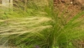 Feather Grass or Needle Grass, Nassella tenuissima in the wind 70360309