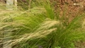 Feather Grass or Needle Grass, Nassella tenuissima in the wind 70360310