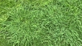 Top view of artificial healthy grass field or lawn texture before cutting 70360311