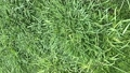 Top view of artificial healthy grass field or lawn texture before cutting 70360312