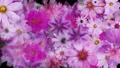 盛開的花朵_水彩風格_紫色_黑色背景 70366929