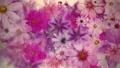 盛開的花朵_水彩風格_紫色_日本紙紋理 70366932