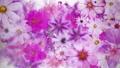 盛開的花朵_水彩風格_紫色_白皮書紋理 70366934