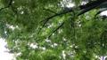 雨 公園の樹木 70416853