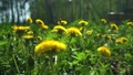Many Beautiful Yellow Dandelions Stir in the Wind on a Sunny Spring Day. Nature Awakening Concept 70483363