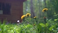 Many Yellow Beautiful Dandelions Blossoming in the Wind, in the background Country house and grass 70483370