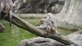 坐在樹幹上的台灣獼猴們 70517294