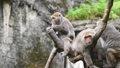 坐在樹幹上的台灣獼猴們 70517296