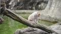 坐在樹幹上的台灣獼猴們 70517297