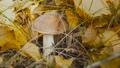 Brown boletus mushroom 70629642