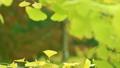 滋賀縣良地公園的銀杏樹和銀杏葉黃色秋天秋天[11月] 71060714