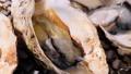 焼き牡蠣【秋の味覚】 71062738
