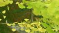 滋賀縣良地公園的銀杏樹和銀杏葉黃色秋天秋天[11月] 71063794