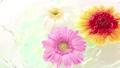 非洲菊花朵漂浮在水面上 71144926