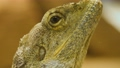 Bearded Dragon lizard close up profile  head and eye is moving 71209921
