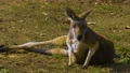 Kangaroo relaxing on the ground and looking around 71212213