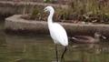 公園の池の浅瀬で周りを見渡し獲物を探すコサギ 71260287