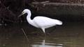 公園の池の浅瀬で足を使って水中の獲物を探し捕食するコサギ 71260288