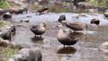 公園の川の浅瀬で遊ぶカルガモたち 71261707