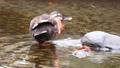 公園の川の浅瀬で顔を足でパタパタ掻くカルガモの後ろ姿 71261708