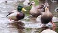 公園の川の浅瀬で遊ぶカルガモ(マガモに驚き逃げる) 71261711