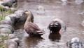 公園の川の浅瀬でエサを探すカルガモのツガイ 71261712