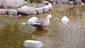 公園の川の浅瀬を歩くカルガモのツガイ 71261713