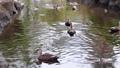 公園の川で泳ぐカルガモたち 71261714