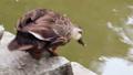 池の畔を歩き水に飛び込むカルガモ 71261716