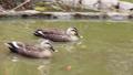 公園の池で泳ぐカルガモ 71261717