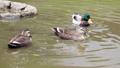 公園の池で泳ぐカルガモとマガモ 71261718