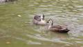 公園の池で泳ぐカルガモのツガイ 71261719