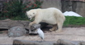 Polar Bear eating while bird sits and watches 4K 5409. Large white carnivorous bear that lives mainly in the Arctic Circle and in captivity in zoo enclosures. Cold temperature hunts for seals. 71302743