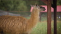Cute brown llama is standing in the corral 71316426