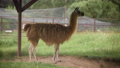 Cute brown llama is standing in the corral 71316430