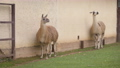 Two cute llamas are staying and looking interesting 71316435
