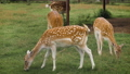 Cute fallow deers are grazing in the corral and eating grass 71316450