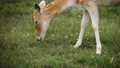 Cute fallow deer grazing in the corral and eating grass 71316452