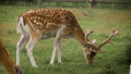 Two cute fallow deer are grazing in the corral and eating grass 71316454