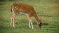 Cute fallow deer grazing in the corral and eating grass 71316456